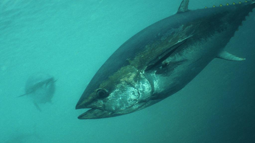 2 bluefin tunas