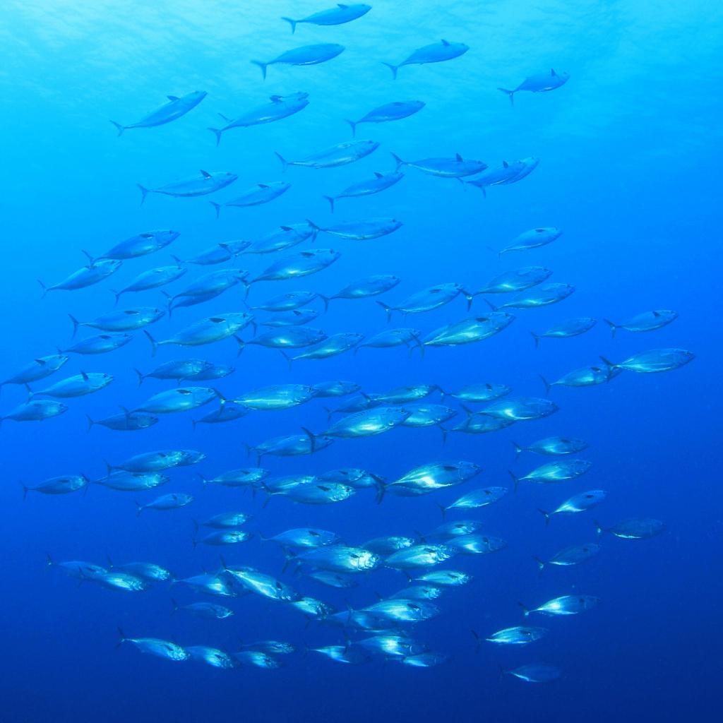 tuna school